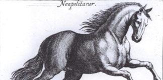 cavallo napoletano, corsiero napoletano, neapoletano., napolitano, neapolitano