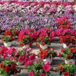 Coronavirus, chiarimenti della Regione su commercio fiori e interventi di manutenzione in Campania