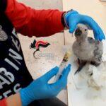 Cardito, a passeggio con un pappagallo di una specie protetta: denunciata
