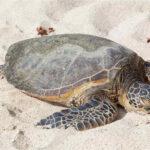 Tartaruga marina trovata morta sulla spiaggia: aveva ingerito troppa plastica
