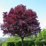 Vomero, piazza Fuga: via le ceppaie, arrivano due nuovi alberi